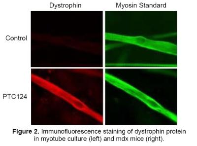 dystrophin.jpg