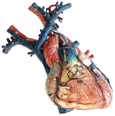 anatomical_model_auzoux_heart_front.jpg